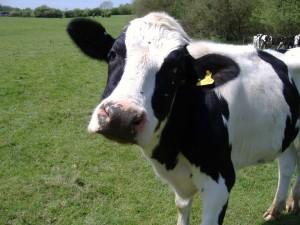 Malkekøer som denne her invaderer EU-byen Strasbourg i dag. De og deres landmænd protesterer imod de historisk lave mælkepriser, og de vil have hjælp af EU.